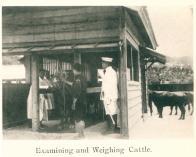 경성부 도살장 가축 검사