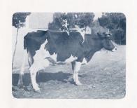 홀스타인 젖소