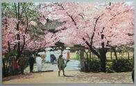 창경원의 벚꽃놀이