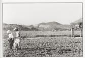 뚝섬 배추밭(1959)