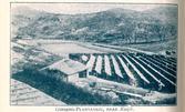 개성 인삼밭