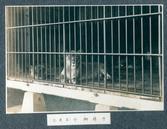 창경원 사자