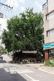 구마을 길목에 위치한 은행나무
